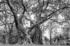 De grote boom in tuin Stock Afbeelding