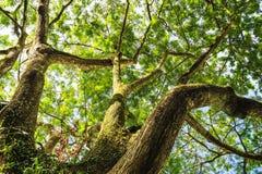 De grote boom ziet omhoog eruit Royalty-vrije Stock Foto's