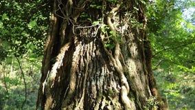 De grote boomstam van de eiken boom stock video