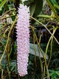 De grote bos van purpere en witte orchidee bloeit in verticale vorm over de achtergrond van de orchideetuin Stock Foto's