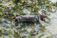 De grote bruine krab met massieve klauwen en rode ogen beschermt zich bij het tropische strand stock afbeeldingen