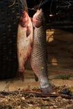 De grote die vissen in de rivier worden gevangen trekken in de schilderachtige plaats aan Royalty-vrije Stock Afbeelding