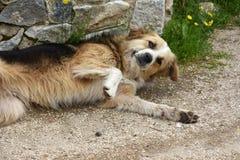 De grote droevige verdwaalde hond let op de omgeving stock fotografie