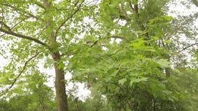 De grote esdoorn in het park, groene grote esdoorn, Esdoorn verlaat slingering in de wind stock footage