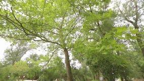 De grote esdoorn in het park, groene grote esdoorn, Esdoorn verlaat slingering in de wind stock video