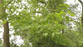 De grote esdoorn in het park, groene grote esdoorn, Esdoorn verlaat slingering in de wind stock videobeelden