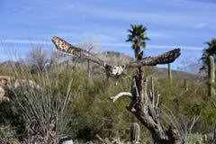 De grote Gehoornde Uil toont verbazende uitgespreide vleugel Royalty-vrije Stock Afbeeldingen