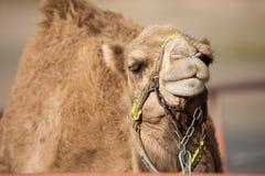 De grote gele kameel Stock Afbeeldingen