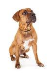 De grote Gemengde Zitting die van de Rassenhond omhoog eruit zien Stock Afbeeldingen