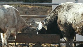 De grote grijze koe en de zwarte stier eten van voeders Oekraïens grijs vee stock videobeelden