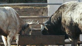 De grote grijze koe en de zwarte stier eten van voeders Oekraïens grijs vee stock footage