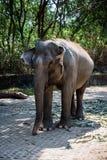 De grote grijze olifant loopt langs de oude steenomheining in een regenwoud, Safari Park, horizontaal kader royalty-vrije stock fotografie