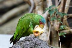 De Grote Groene die Ara ook als de Ara van Buffon wordt bekend stock afbeeldingen