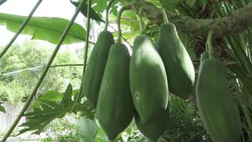 De grote groene en rijpe Vruchten van papaja's hangen op een boom, papajafruit stock video