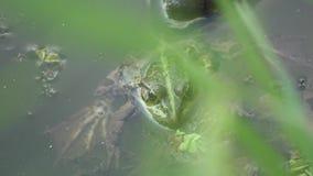 De grote groene kikker in het water, kijkt zonder motie stock footage