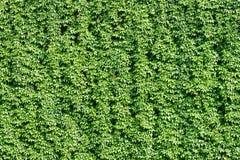 De grote groene muur van wijngaard Stock Foto