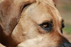 De grote Grote Hond van Mastiffboerboel Royalty-vrije Stock Afbeelding