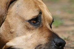 De grote Grote Hond van Mastiffboerboel Royalty-vrije Stock Fotografie