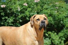 De grote Grote Hond van Mastiffboerboel Stock Foto's