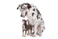 De grote HARLEKIJN van de Deen en een chihuahua Royalty-vrije Stock Afbeeldingen