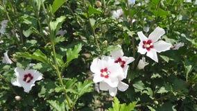De grote hibiscusstruik met vele witte bloemen, weelderige groene kleurrijke installatie, sluit omhoog stock videobeelden