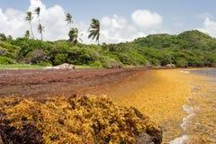 De grote hoeveelheden van Sargassum-zeewier leggen aan wal Royalty-vrije Stock Afbeeldingen