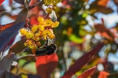 De grote hommel verzamelt nectar van de bloemen van de berberis Stock Foto