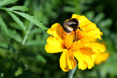 De grote hommel verzamelt nectar van een bloemgoudsbloem Royalty-vrije Stock Afbeeldingen