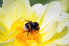 de grote hommel zit op een gele tint van de chrysantenbloem stock fotografie