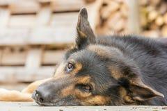 De grote hond kijkt nieuwsgierig tijdens een onderbreking royalty-vrije stock foto's