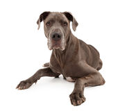 De grote Hond van de Deen die op Wit wordt geïsoleerda Stock Fotografie