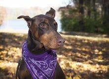 De grote hond van de huisdierenmetgezel, doberman pinscher draagt een sjaal kijkt aan de linkerzijde Royalty-vrije Stock Foto