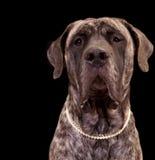De grote hond van de Mastiff Stock Afbeeldingen