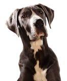 De grote hond van Denen Stock Afbeeldingen