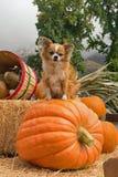 De grote hondpompoen royalty-vrije stock foto