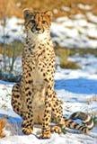 De grote Jachtluipaard van de Kat Stock Foto