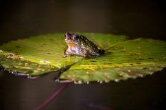 De grote kikker zit op het waterlelie groene blad royalty-vrije stock foto