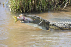 De grote krokodil van Nijl eet een vis op rivierbank Royalty-vrije Stock Foto's