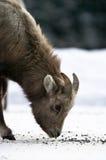 De grote Kudde van hoornschapen stock foto's