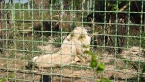 De grote leeuw rust bij de dierentuin stock footage