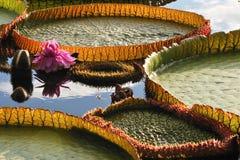 De grote lotusbloem Stock Foto's