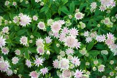 De grote majoor die van masterwortastrantia in een tuin bloeien stock foto