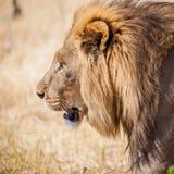 De grote mannelijke leeuw snuffelt in de weiden van Afrika rond Royalty-vrije Stock Afbeeldingen