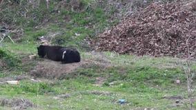 De grote mannelijke zwarte geit van Bengalen stock videobeelden