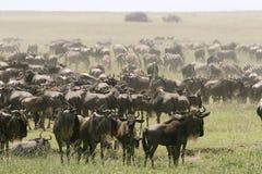 De grote migratie Stock Foto