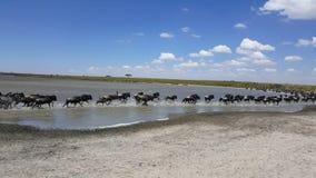 De grote migratie - Wildebeest en Zebras in Serengeti stock videobeelden