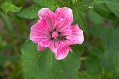 De grote mooie roze close-up van bloemlavatera Stock Afbeeldingen