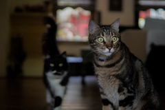 De grote ogen van de gestreepte katkat, een andere kat op achtergrond royalty-vrije stock foto