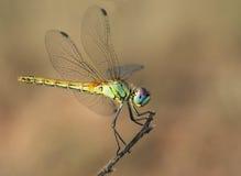 De grote ogen van het insect royalty-vrije stock afbeeldingen