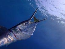 De grote ogenblikgeepvis vangt de Konijnvissen stock afbeeldingen